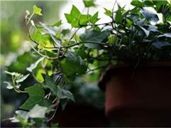 这些植物,天生就是装修污染的克星