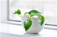用植物去除空气中的甲醛、助眠 做天然的空气净化器