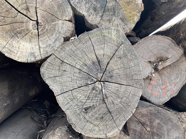 一根自然生长的原木从生长到成才最少经历百年